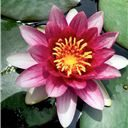 lotus-flower-today-in-my-garden-lebanon-beautiful-5-1-2017-3-24-20-pm-t